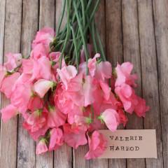 06995_Erteblomst_Valerie_Harrod_1