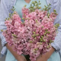 sommerridderspore light pink