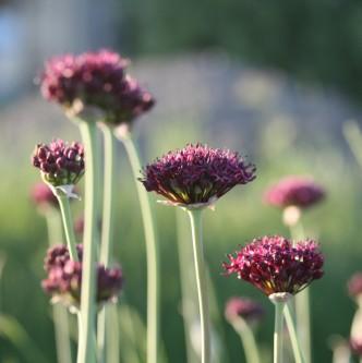 Prydløk Allium atropurpureum 10 stk