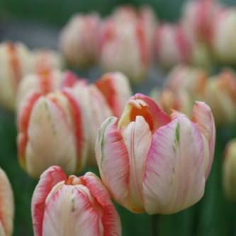 Tulipan Apricot Parrot 10 stk