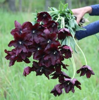 Tulipan Black Parrot 10 stk