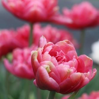 Tulipan Chato 10 stk