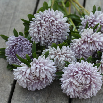 16548_Ett_rig_asters_Lady_Coral_Lavender_1