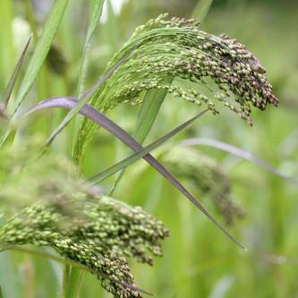 Hirse Violaceum