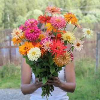 Zinnia Cactus Flowered mix
