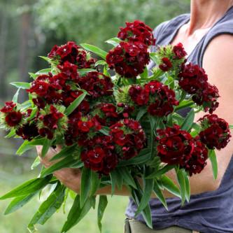 busknellik Sweet Black Cherry