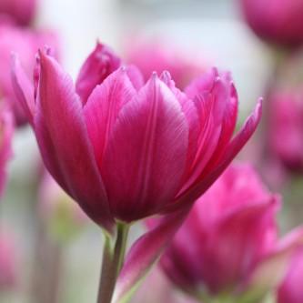 Tulipan Blue Wow 10 stk