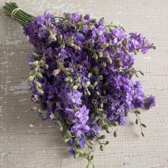 Sommerridderspore QIS Lilac
