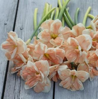 Narciss Apricot Whirl 5 stk