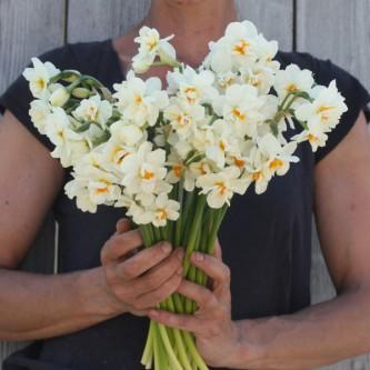 Narciss Geranium 5 stk