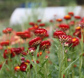 blomsterdyrking i hagen 31.august