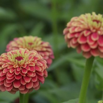 zinnia queen red lime (2)