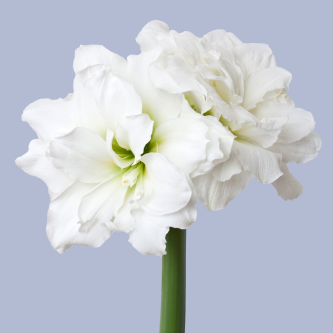 amaryllisløk Alfresco