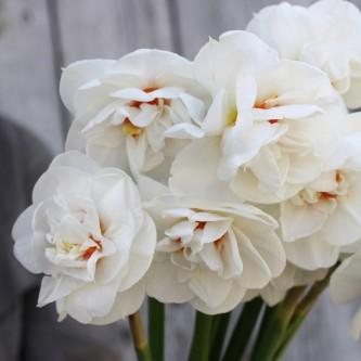 Narciss Acropolis 5 stk