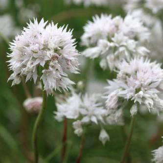 Prydløk Allium Graceful 10 stk